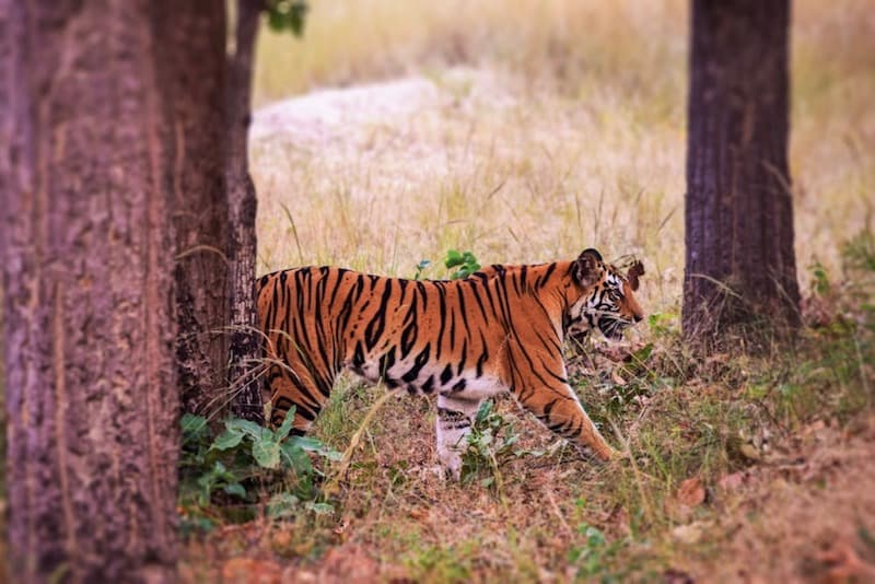 how to see a tiger in India