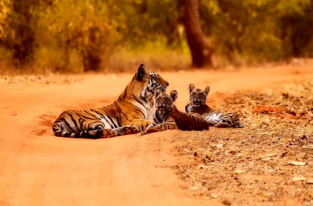 seeing tigers in India