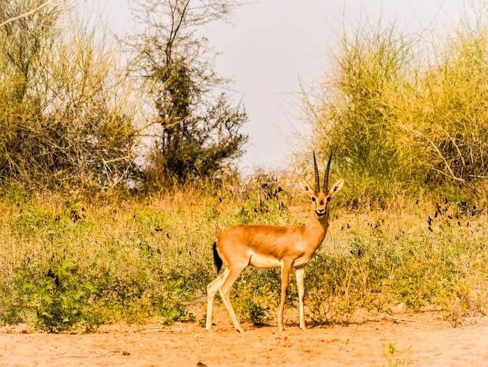 Chinkara on my Rajasthan desert safari