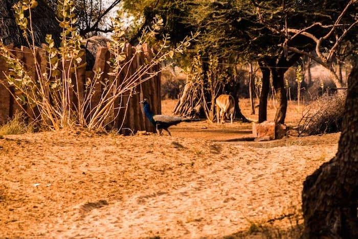 peacocks at Hacra desert camp in Osiyan Rajasthan