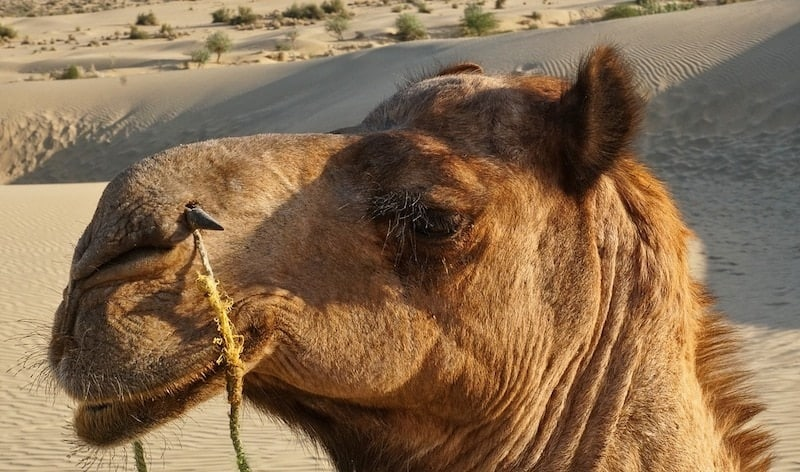 desert camel in rajasthan