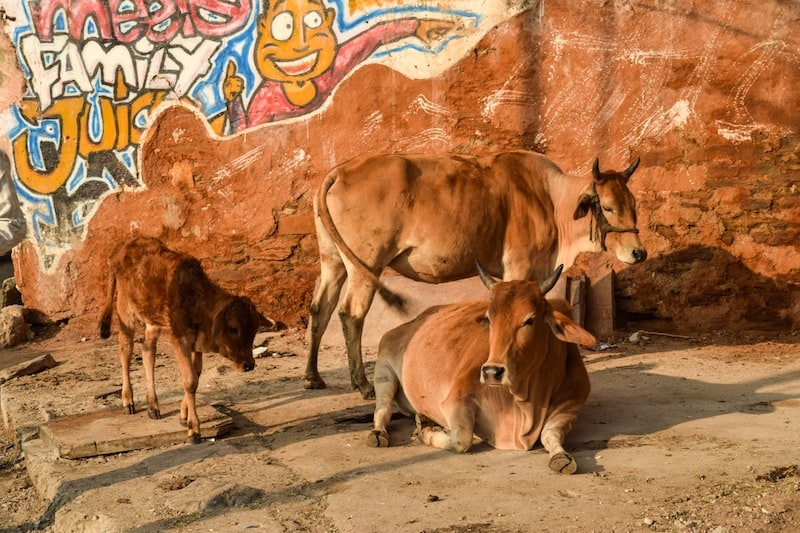 Holy cows in India