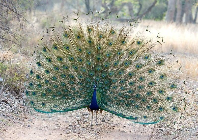 Ranthambhore National Park Peacock